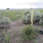 Yucca and Ant Hill